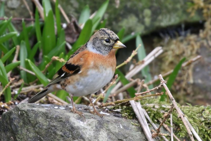 Brambling Animal Wildlife Animal Themes One Animal Animals In The Wild Animal Vertebrate Bird Perching Close-up Day Focus On Foreground No People Nature Robin Plant Songbird  Outdoors Selective Focus Sparrow High Angle View