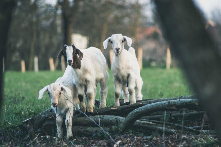 Lambs on field