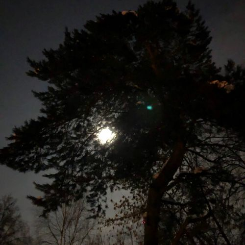 Сосна под морозной луной Tree Low Angle View Night Sky Moon Branch No People Silhouette Outdoors Tranquility Nature Beauty In Nature Illuminated Astronomy Growth Tree Trunk Scenics