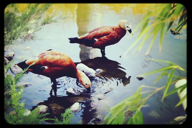 Ducks Animals Water
