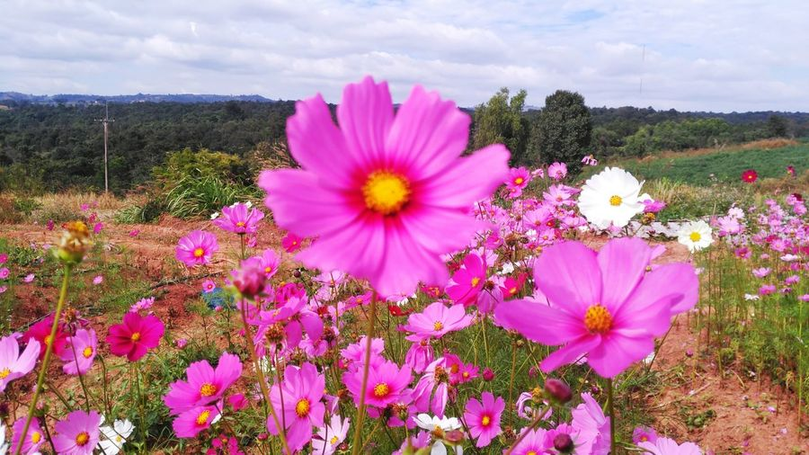 Flower Pink Color Field Flower Head Nature Cloud - Sky No People Beauty In Nature Growth Fragility Petal Freshness Outdoors Day Plant Tranquility Sky Cosmos Flower Rural Scene Close-up