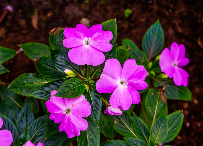 Close-up of pink flowering plants