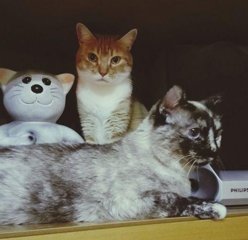 Domestic Cat Pets Feline Portrait Looking At Camera Domestic Animals Mammal