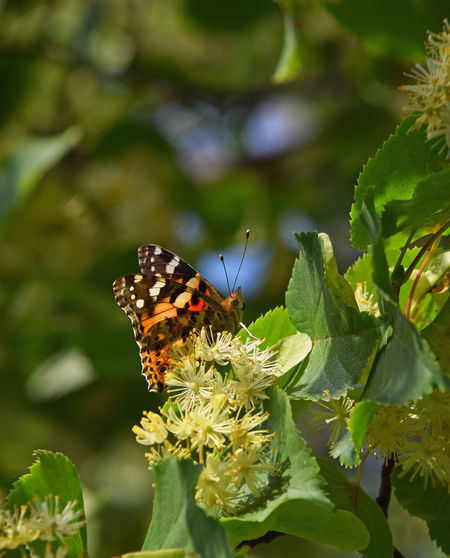 Colorful butterfly pollinating on linden tree blossoms close up Bloom Blooming Blossom Butterfly Close Up Close-up Flowers Honey Insect Insects  Lime Lime Tree Linden Linden Tree Moth Nature Pollination Season  Summer Summertime Wildlife Yellow A Bird's Eye View