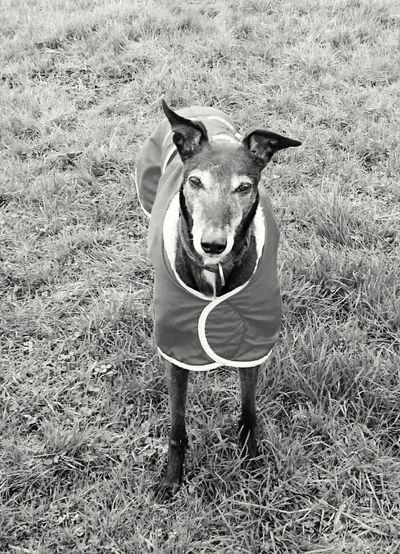 Mybestfriend Old Faithful Faithful Dog Faithfulnness Greyhoundb/w Greyhoundlove