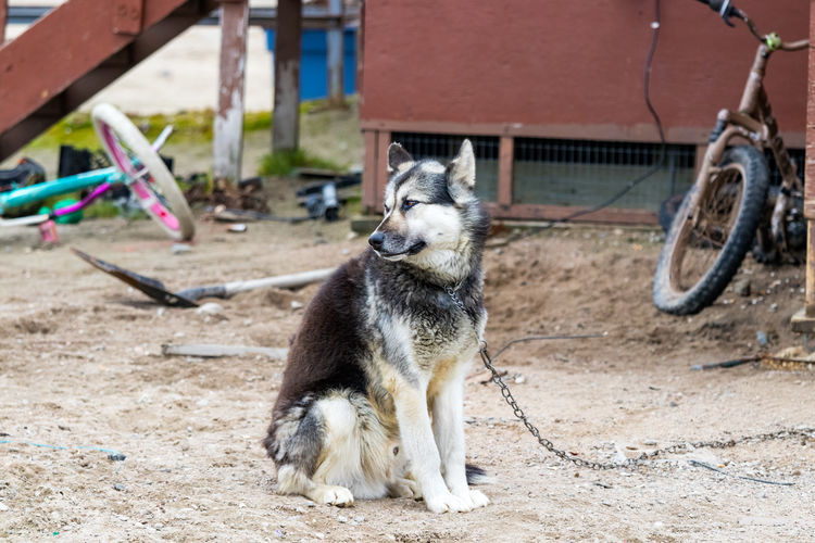 View of an arctic dog in nunavut, canada on field