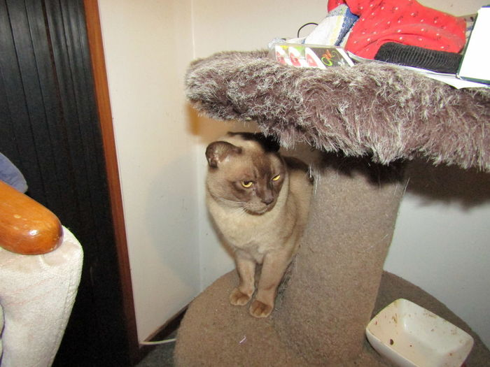 Animal Themes Burmese Cat Cat Cats Cats Of EyeEm Domestic Animals Domestic Cat Omakere, Hawkes' Bay New Zealand Pet Pets