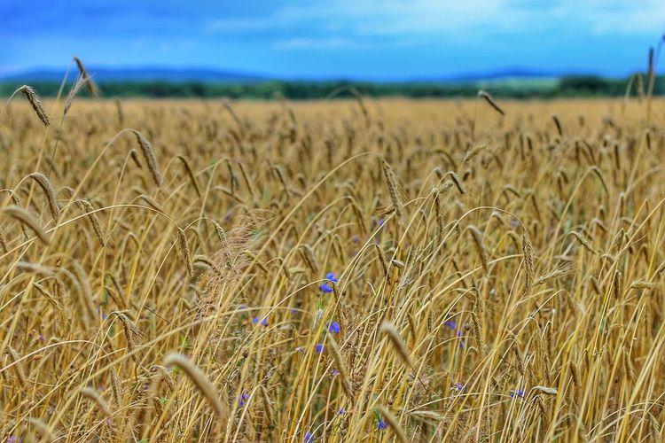 Rye field against sky