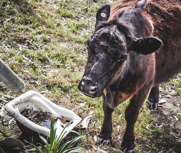 Animal Themes Grass Mammal One Animal Outdoors No People Nature Close-up Cow Sink Rustic Rural Country Life Farm Animal Cattle Black Cow Australia Ear Cocked EyeEmNewHere