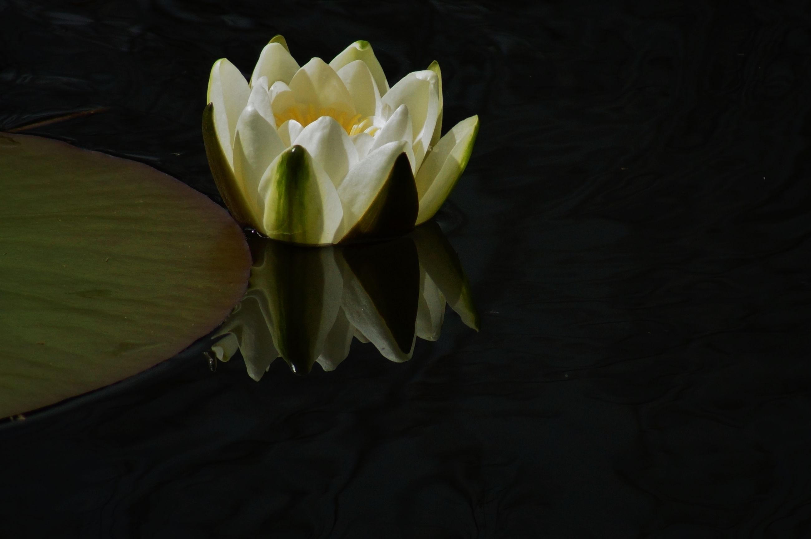 flower, petal, freshness, flower head, fragility, beauty in nature, growth, water lily, nature, plant, white color, single flower, blooming, leaf, close-up, pond, water, lotus water lily, stem, in bloom