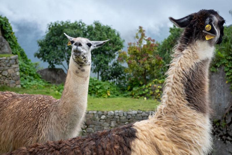Friendly lamas