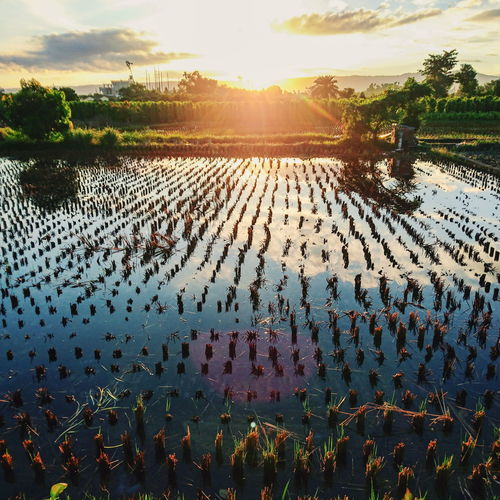 View Of Sunset Over Rice Paddy
