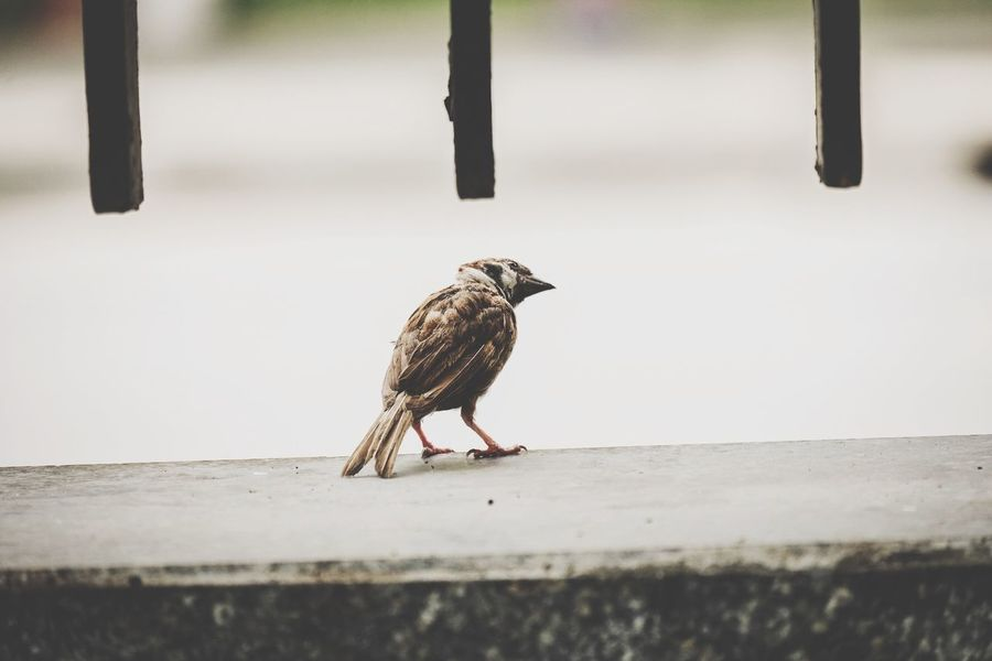Animal Themes Animal Bird Animal Wildlife Animals In The Wild One Animal Vertebrate Nature Bird Of Prey Barrier Side View Fence Full Length Starling Wall Focus On Foreground Outdoors Perching Day No People