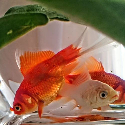 Fish Goldfish Colour Of Life My Year My View Animal Themes Gold Fish In A Glass Tank Gold Fish, Fish Bowl Adapted To The City Millennial Pink EyeEm Diversity Neon Life Perspectives On Nature