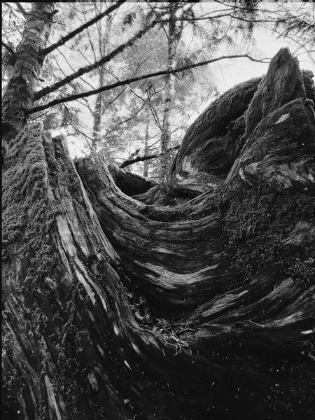 Scenic Silhouette of a Fallen Tree Landscape_photography TreePorn Tree Textures And Surfaces Nature Porn Nature Nature Photography Abstract Nature Cape Lookout, Oregon I See Faces Abstractions In BlackandWhite Faces In Nature Blackandwhite Photography Black And White Blackandwhite Black & White Trees Light And Shadow