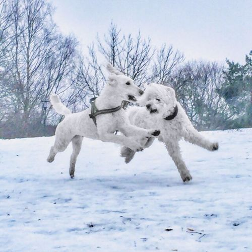Snow Winter Cold Temperature White Color Weather Animal Themes No People Domestic Animals Dog Dogs Play Playing Fun Free Poodle Poodle🐩 Poodle Love Standard Poodle Pudel