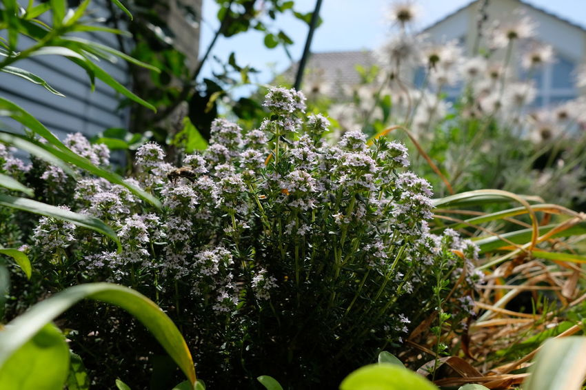 Gardening Herbs Blooming In Spring Blossoms  Close-up Common Thyme Flower Garden Garden Thyme Thymian Thymus Vulgaris