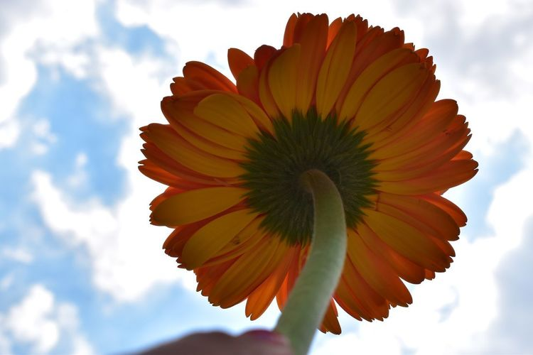 Love is in the air Florecitas_mx Florecitas Gerbera Flower Flowering Plant Beauty In Nature Vulnerability  Freshness Cloud - Sky Petal Sky Fragility Plant Close-up Flower Head Inflorescence Growth Nature No People Day Pollen Outdoors