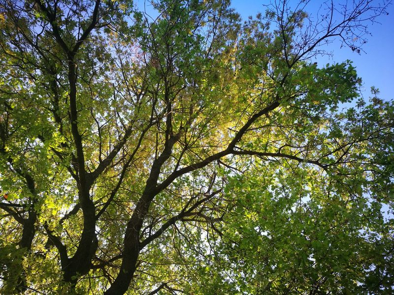 Tree Low Angle View Growth Nature Green Color Branch Beauty In Nature Day Outdoors Sunlight No People Leaf Sky Freshness
