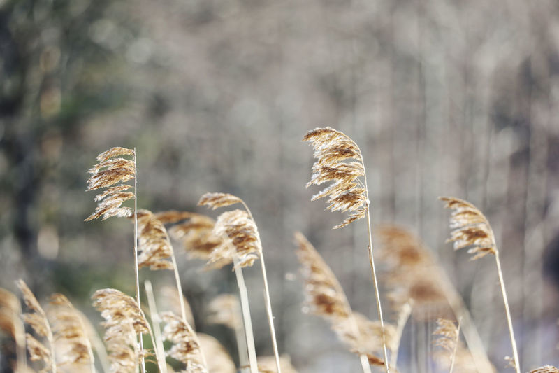 Close-up of reed growing in field