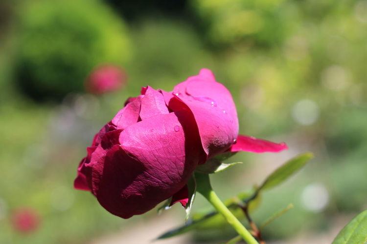 Macro Photography Nature Nature Photography Flower Macro Rose - Flower First Eyeem Photo