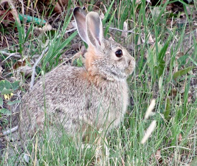 Wild rabbit in grassy area in September in Colorado Bunny  Outdoors Furry Animal Animal Themes One Animal Mammal Grass Rabbit - Animal Field Animals In The Wild Animal Wildlife Nature No People Rabbit Day