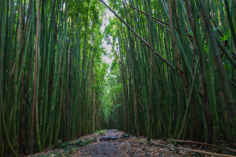 View of bamboo trees in forest along pipiwai trail on the hawaiian island of maui, usa