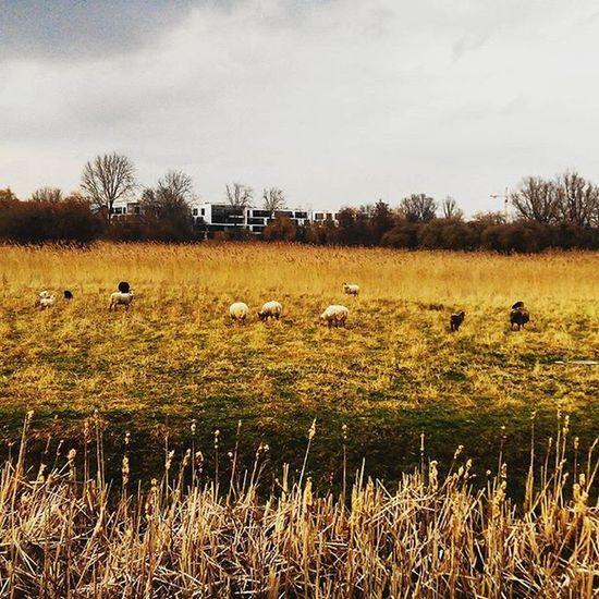 Typicalbelgian Sheep Ghent Belgium Niceday Canal