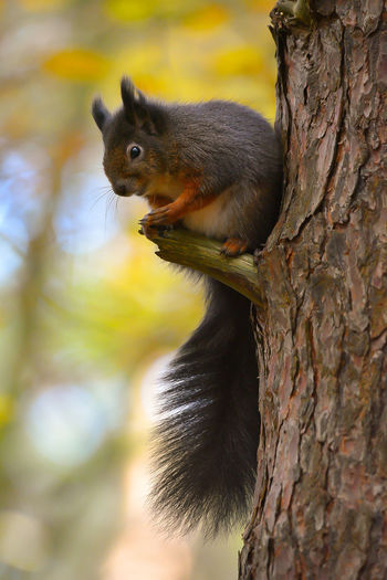 red squirrel Animal Wildlife One Animal Animals In The Wild Tree Animal Nature Tree Trunk No People Animal Themes Close-up Day Outdoors Full Length Perching Wildlife Photography Autumn🍁🍁🍁 Mammal