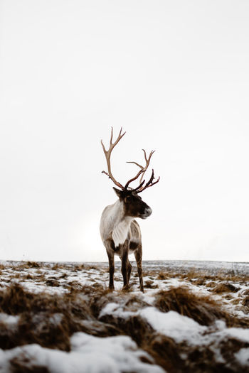 Deer standing on snow covered land
