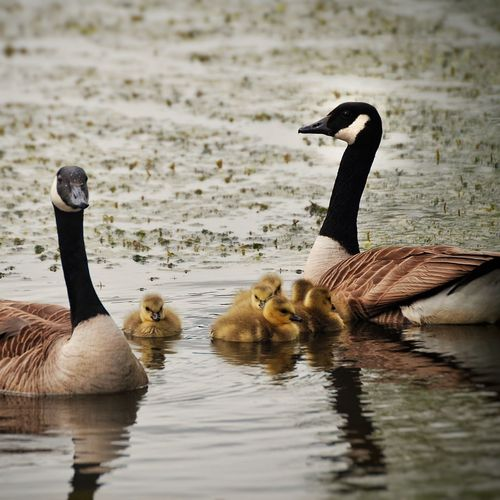 Canada geese and goslings swimming on lake