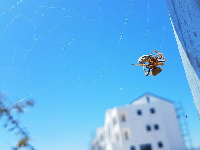 Brown Button Spider Whats For Breakfast? Spider Spider Web Animal Themes Building Exterior Sky Blue No People Vicious Entrapment Caught Death Danger