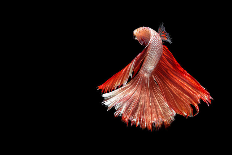 Siamese fighting fish Black Background Beauty In Nature One Animal Underwater Swimming Fish Water Animal Fin Nature Isolated Black Background Close-up Studio Shot No People Black Background Animal Themes Fresh On Market 2017