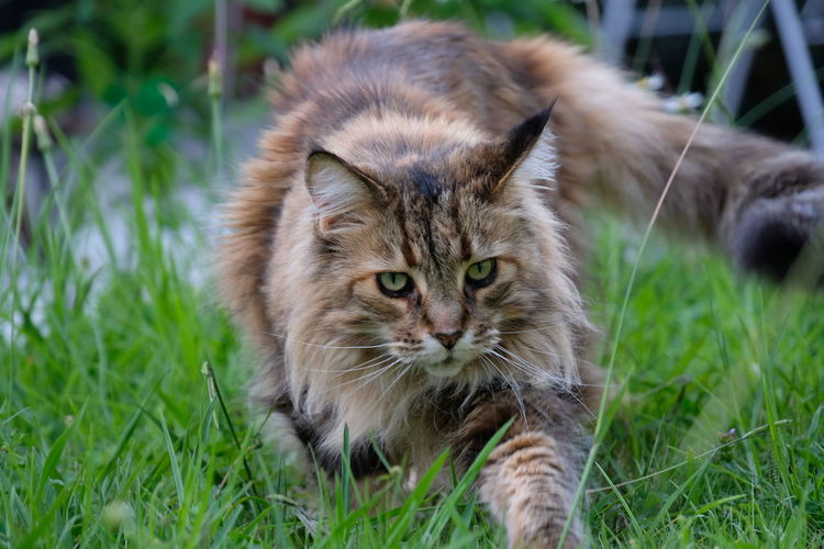 Close-up portrait of cat sitting on grass