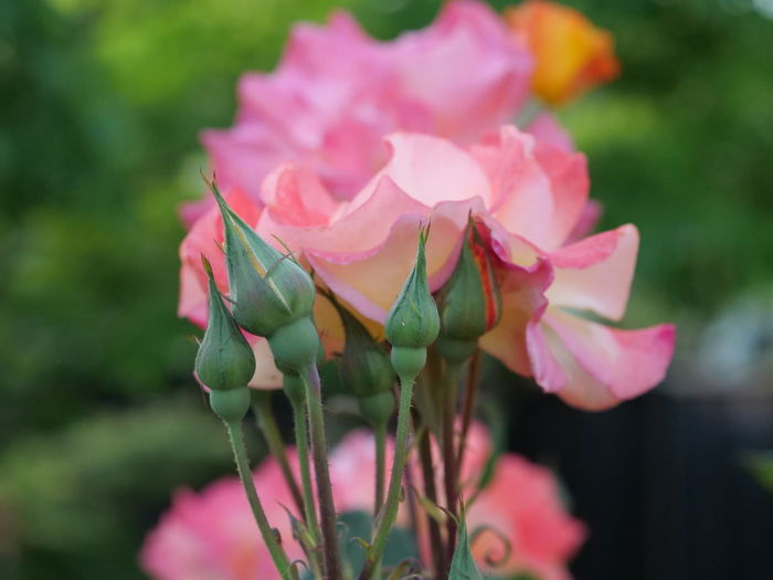 Flower Head Flower Pink Color Petal Multi Colored Leaf Close-up Plant Bud Plant Life New Life