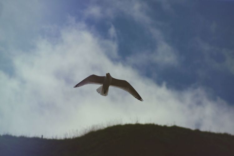 Scotland Seagull Flying Animal Wildlife Vertebrate Animals In The Wild Animal Themes Animal One Animal Bird Spread Wings Sky Low Angle View Cloud - Sky Mid-air No People Nature Motion Beauty In Nature Day Outdoors
