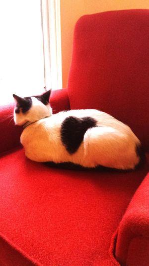 My baby boy wears his heart on his sleeve.. Heart ❤ Heartshape Taking Photos Relaxing Cat♡ Catlover ♡ Catlife Redchair CatLadyForlife
