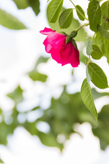 pink roses, shrub Plant Beauty In Nature Freshness Flowering Plant Flower Close-up Plant Part Leaf Petal Fragility Vulnerability  Growth Red Rosé Flower Head Nature Inflorescence Pink Color Rose - Flower Green Color No People Outdoors