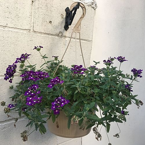 Flower Plant Growth Outdoors Day Hanging Architecture Nature No People Built Structure Building Exterior Fragility Freshness Hanging Flower Pot
