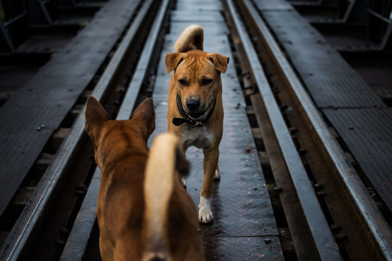 Aggressive dogs stare and fight on train rail