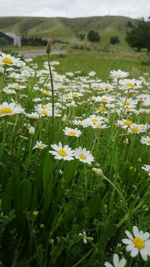 Close-up of white flowers blooming in field