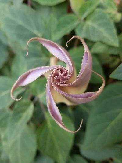 Datura Flower With Purple Closed 02 Nature Outdoors