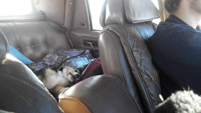 Car Transportation Vehicle Interior Low Section Car Interior Mode Of Transport Day One Person Close-up Real People People Adult Travel The Drive Roadtrip Corgi Puppy Cute Animals Cutedog Cute One Animal Dog Sleeping