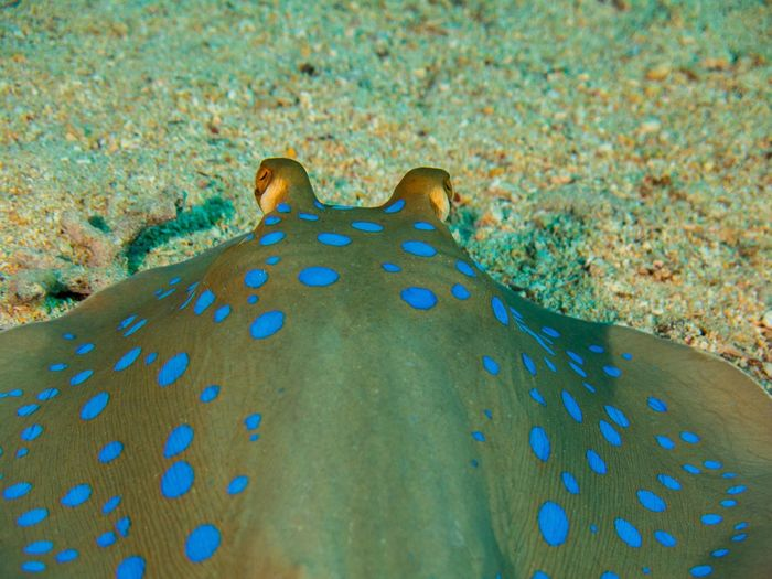 Behind Big Eyes Blue Spots Close-up Colorful Eyes Fish Stingray Underwater