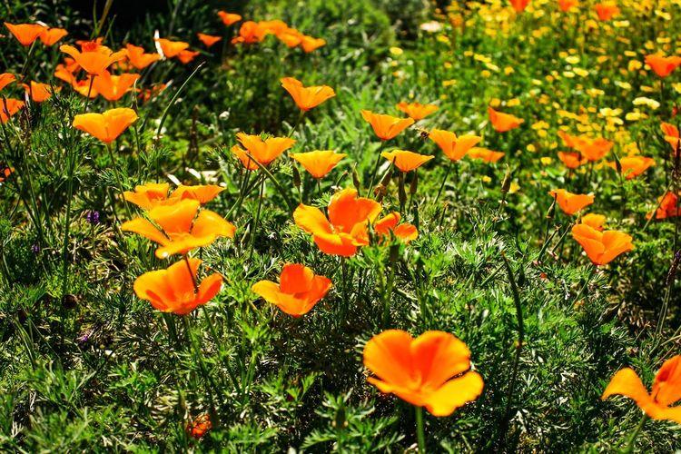 Spring Fever Flower Flowering Plant Plant Freshness Fragility Beauty In Nature Vulnerability  Flower Head Orange Color