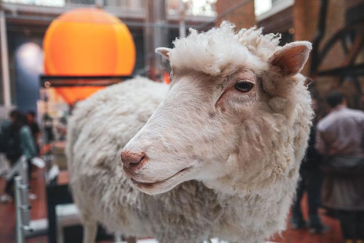 Sheep Taxidermy