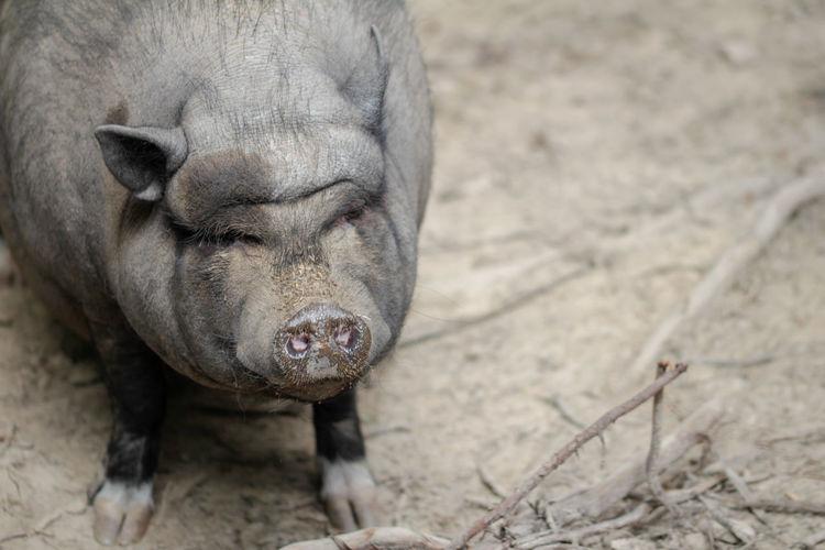 Close-up of a bergsträsser knirps pig