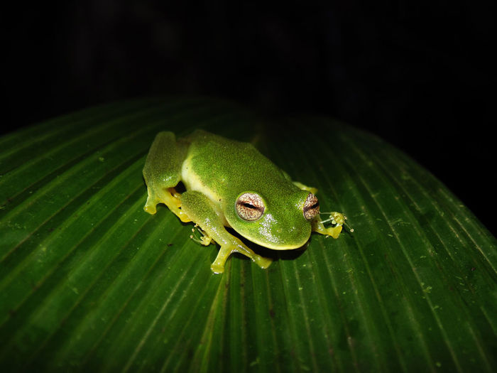 Anphibian Crystal Dark Eyes Frog Green Herpetology Wildlife