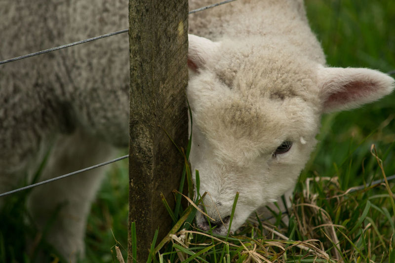 Lamb's Lunch.