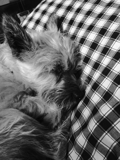 Sleep Dog Chien Dormir First Eyeem Photo